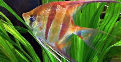 peces herbivoros
