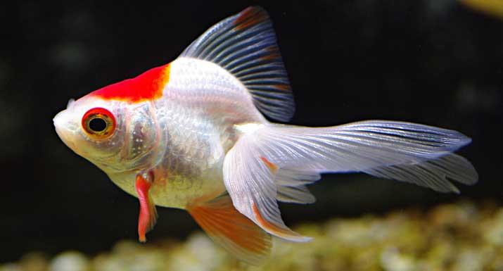 Peces de agua fr a todo lo que precisas saber for Enfermedades de peces de agua fria