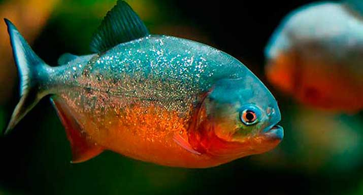 peces carnivoros