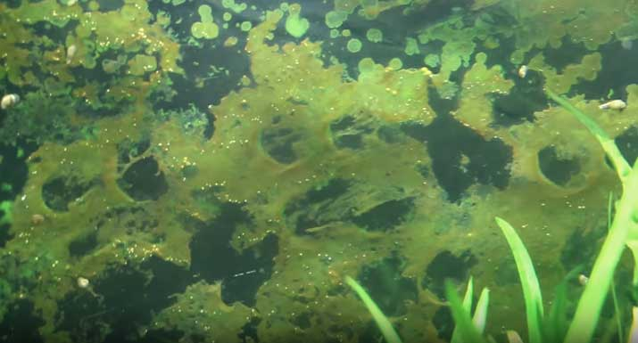 eliminar algas de acuario